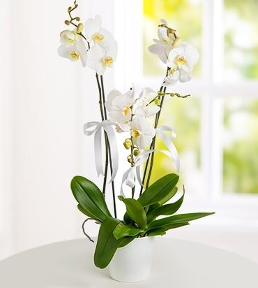 2 Dallı İthal Beyaz Orkide