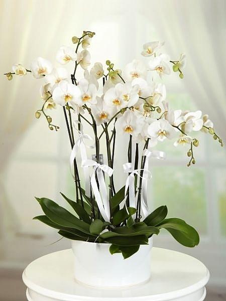 8 Dal İthal Beyaz Orkide