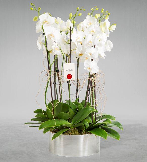 10 dal orkide zarifliği